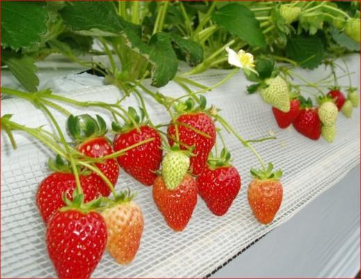 작물별 병해충 정리 – 딸기
